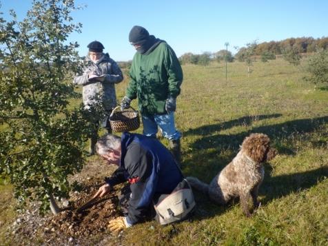 """La recherche de truffes aussi appelée """"cavage"""" avec l'aide du chien"""
