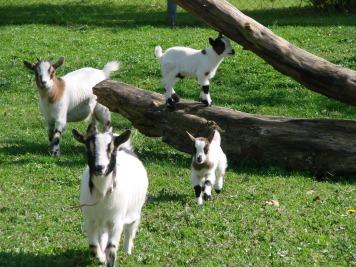 Les petites chèvres