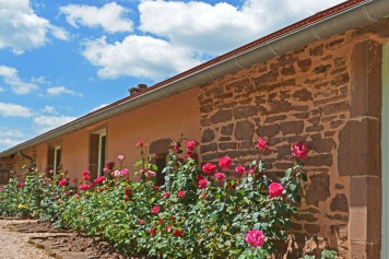 Roses au bord de la façade
