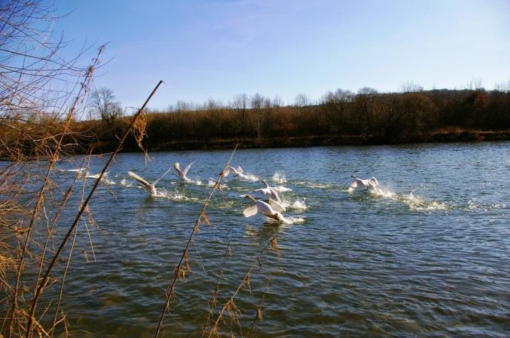 Les cygnes sur le Doubs