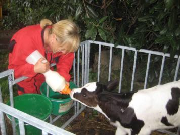 Pamela donne le lait au petit veau