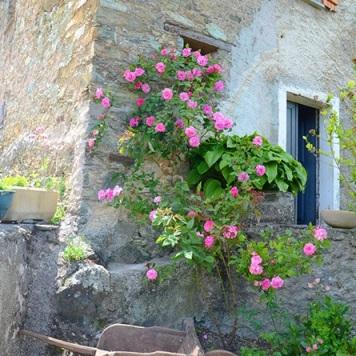 Des roses dans le jardin du gîte
