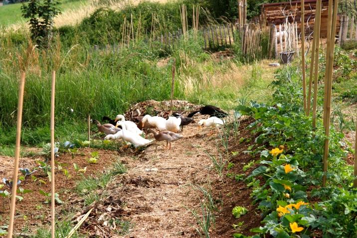 Les oies dans le potager