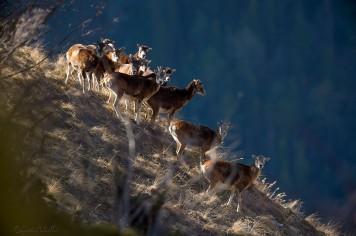 Quelques mouflons