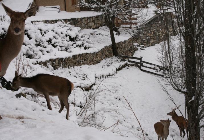 Le troupeau de biches, proche de la maison de Pascale et Olivier